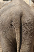 Elephant backside — Foto Stock