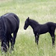 Mare with black colt - Stock Photo