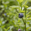 Stock Photo: Blueberry shrubs and spider web