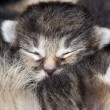 Sleeping kitten - Foto de Stock