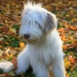 Stock Photo: Bearded Collie