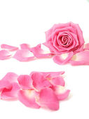 Pink rose and petals — Stock Photo