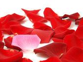 Roses petals — Stock Photo