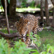 Stock Photo: Jaguar in wildlife