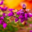 Stock Photo: Blossom heather