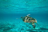 Green turtle in nature — Stock Photo