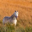 White horse on the meadow — Stock Photo #7503559