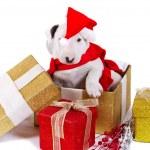 Bullterrier puppy gift box — Stock Photo