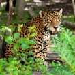 Jaguar in wildlife park — Stock Photo #7929958