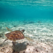 Green turtle swiming in Caribbean sea — Stock Photo #7930055