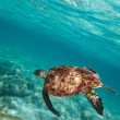Green turtle swiming in Caribbean sea — Stock Photo #7930063