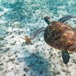 Stock Photo: Green turtle swiming in Caribbesea