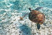 Green turtle swiming in Caribbean sea — Stock Photo