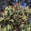 Prickly pear — Photo