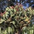 Stock Photo: Prickly pear