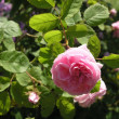 Moss Rose — Stock Photo