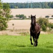 Friesian horse — Stock Photo
