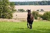 Фризская лошадь — Стоковое фото