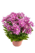 Lilac chrysanthemums in pots, isolated on a white background — Stock Photo