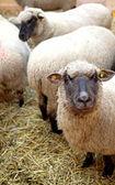 A sheep — Stock Photo