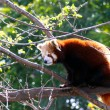 Red Panda sitting in Tree - Ailurus fulgens - Lizenzfreies Foto
