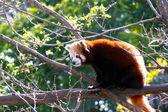 レッサー パンダの木 - レッサーに座っています。 — ストック写真