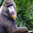 Mandrill making Eye Contact - mandrillus sphinx - Stock Photo