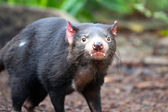Tasmanian Devil - Sarcophilus harrisii - Shallow Depth of Field — Stock Photo