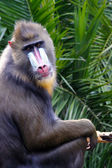 Mandrill making Eye Contact - mandrillus sphinx — Stock Photo
