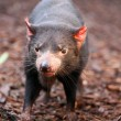 Stock Photo: TasmaniDevil making eye contact - Sarcophilus harrisii