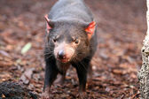 Tasmanian Devil making eye contact - Sarcophilus harrisii — Stock Photo