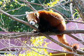Red Panda sitting in Tree - Ailurus fulgens — Stock Photo