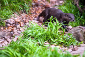Oriental Small-Clawed Otter - Aonyx cinerea - Shallow depth of f — Stock Photo