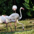 Pink flamingos — Stock Photo #6955336
