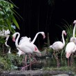 Pink flamingos — Stock Photo #6955420