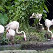 Pink flamingos — Stock Photo #6955630