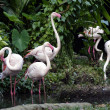 Pink flamingos — Stock Photo #6955645