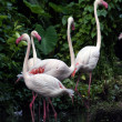 Pink flamingos — Stock Photo #6955733