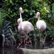 Pink flamingos — Stock Photo #6955743