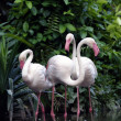 Pink flamingos — Stock Photo #6955756