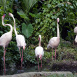 Pink flamingos — Stock Photo #6955872