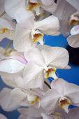 Paradise butterflies. Orchids of Borneo. — Foto de Stock