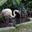 Pink flamingos — Stock Photo #7100335