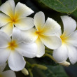 Plumeria — Stock Photo #7217576