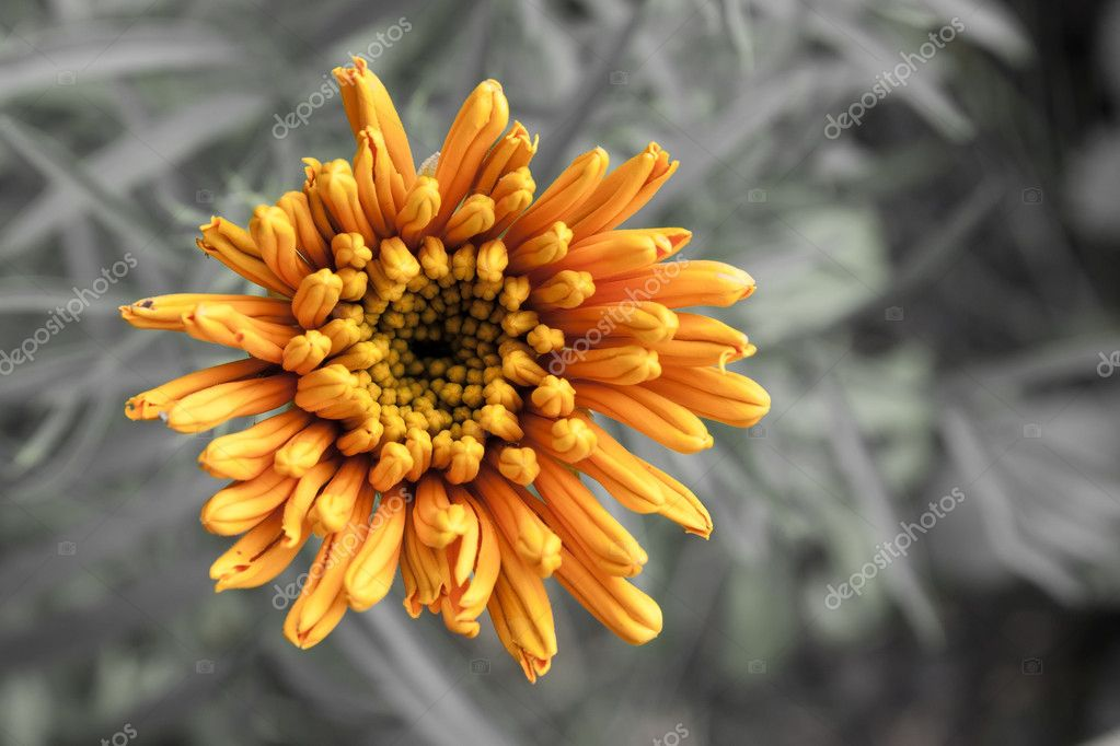Orange flower on a gray background — Stock Photo #6848554