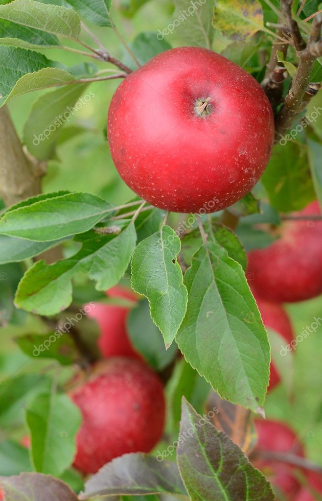 Red discovery apples on young tree — Stock Photo #6965347