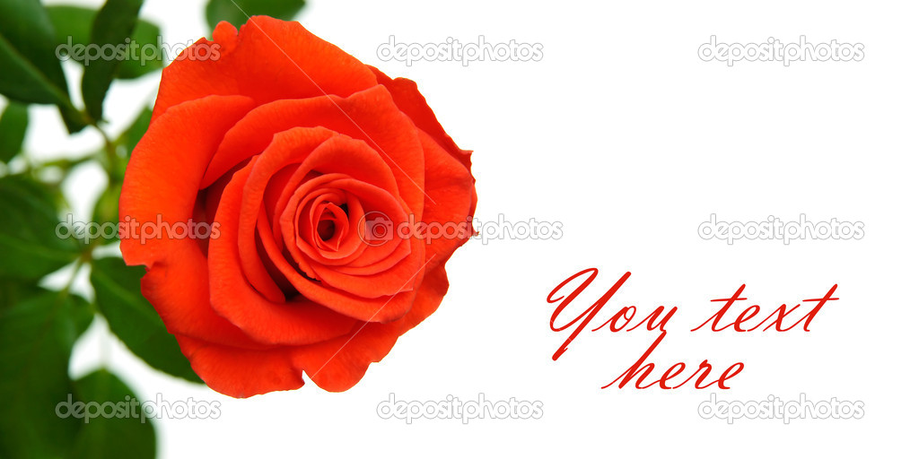 Red rose isolated on white with space for text — Stock Photo #6863156
