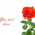 czerwona róża z miejsca na tekst — Zdjęcie stockowe