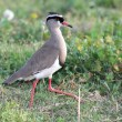 Stock Photo: Crowned Plover Bird