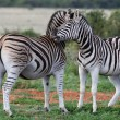 Burchells or Plains Zebra - Stock Photo